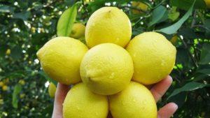 الليمون في تركيا