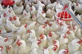 تكلفة إنشاء مزرعة دواجن في تركيا