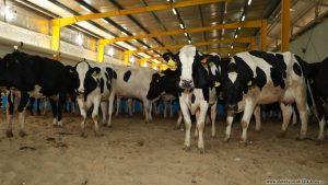 تكلفة إنشاء مزرعة أبقار في تركيا
