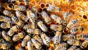 مناطق تربية النحل في تركيا